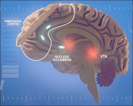 nucleus-accumbens-pleasure-center