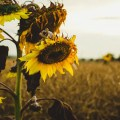 withering-sunflowers-field
